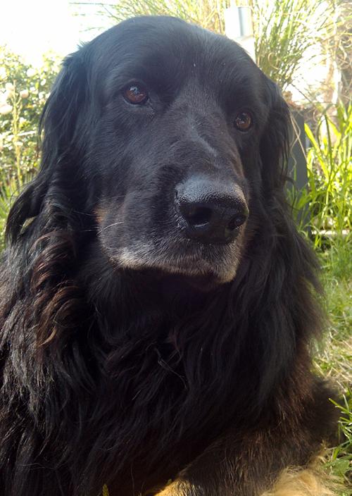 Anton von den Lippwiesen - Hovawart Dog